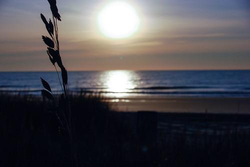 beach myrtle