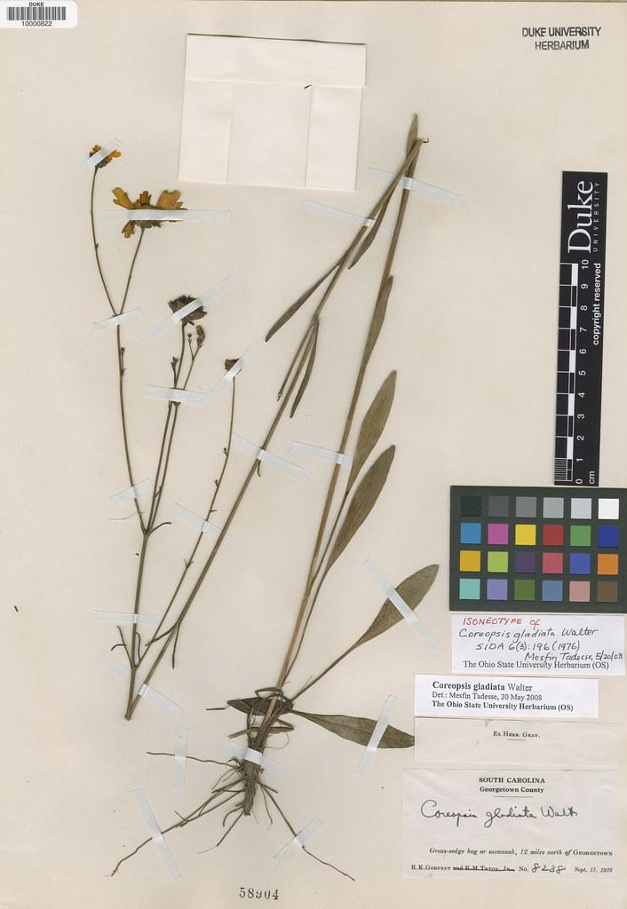 Asteraceae_Coreopsis gladiata