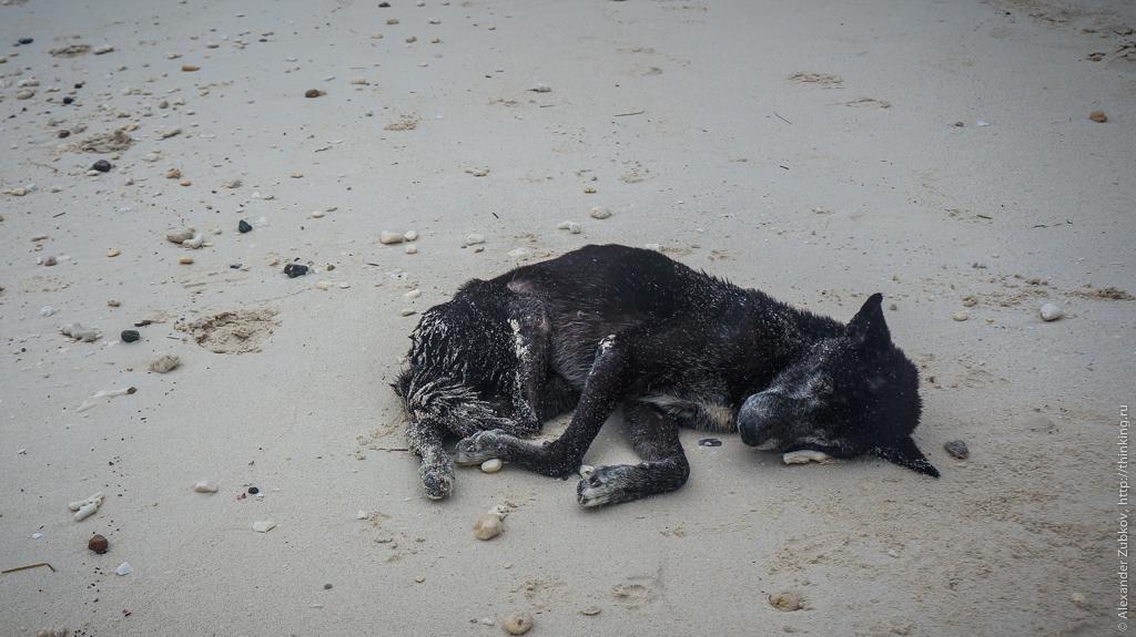 Собака на пляже Боракая