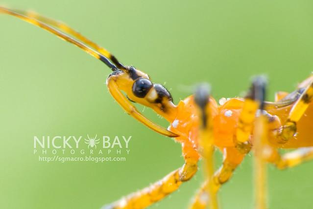 Assassin Bug (Reduviidae) - DSC_9697