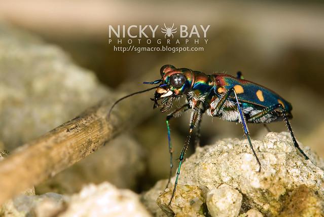 Tiger Beetle (Cicindelinae) - DSC_6975
