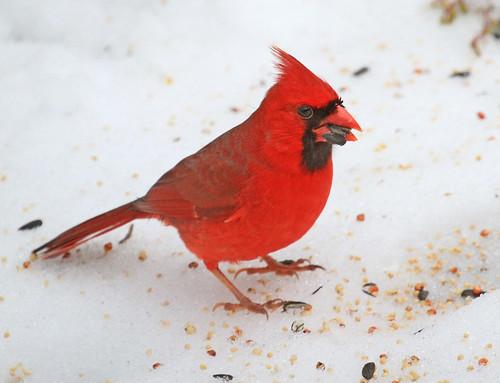 red snow bird nature cardinal seeds feed avin cardinaliscardinalis northerncardinal