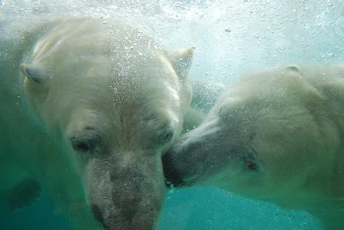 Eisbären Flocke und Rasputin im Marineland Antibes