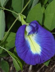 Clitorea ternatea, Blue Butterfly Pea Vine