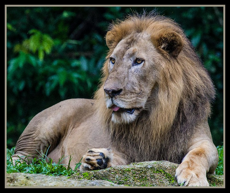 Singapore Zoo Lion-03=