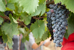zante currant(0.0), agriculture(1.0), plant(1.0), grape(1.0), produce(1.0), fruit(1.0), food(1.0), vineyard(1.0),