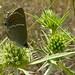 Blue Spot Hairstreak (Satyrium spini) ©berniedup