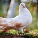 Dove (Fr_Colombe)