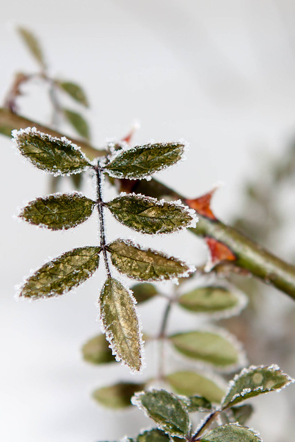 Frost on the leaves of roses