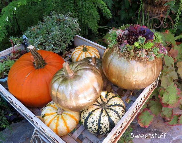 Succulent pumpkins in waiting