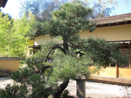 Hakone Japanese Gardens, Saratoga, CA, tree IMG_2297