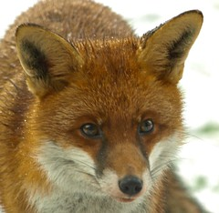 animal, red wolf, grey fox, fauna, red fox, dhole, carnivoran, wildlife,