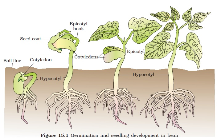 ncert class xi biology chapter 15 plant growth and development rh schools aglasem com Primary and Secondary Growth in Plants Primary and Secondary Growth in Plants