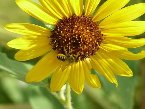 Leaf-cutting Bee on Sunflower