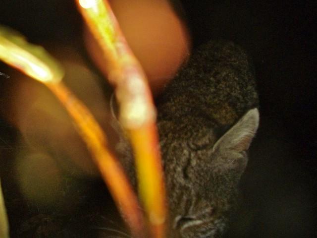 bobcat6