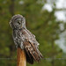 Great Gray Owl...#7