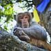 Sitting monkey on the  tree,  in Kathmandu ,Nepal