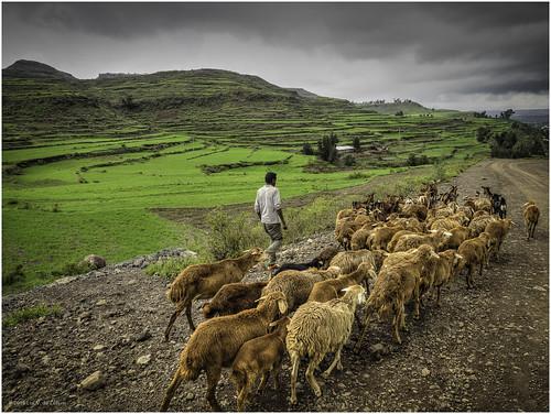 clouds cloudy ethiopia grass herd meadow mountain road sheep shepherd easttigray tigray