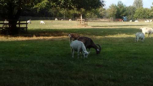 Buttercup Goat Sanctuary