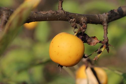 271-366, Ein gelbes Äpfelchen