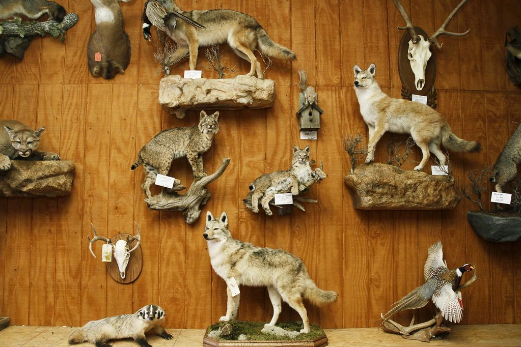 YI-CHIN LEE/COLUMBIA, MO  Taxidermic animals in Curt Shahan's (CQ) shop Thursday morning, Oct. 3, 2012 in Columbia, Mo. Besides deers, which he works on the most, Shahan also receives variety of animals for him to mount from customers.