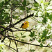 Golden Oriole (Peter Spillett)