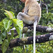 Proboscis Monkey (Dani Free)