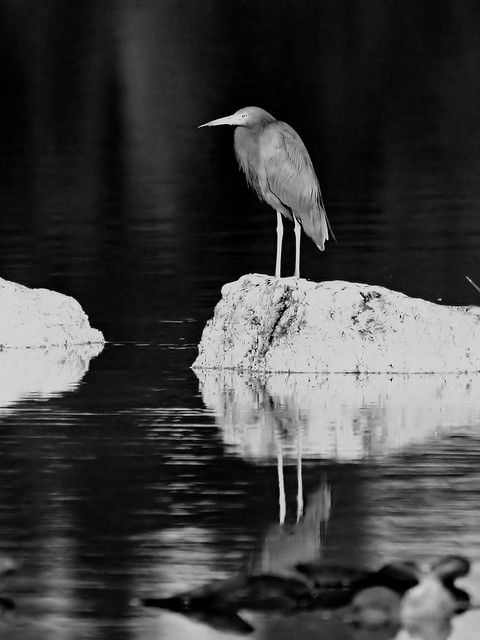 Little Blue Heron monochrome 20121213