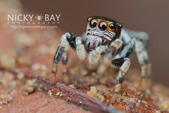Jumping Spider (Salticidae) - DSC_1717
