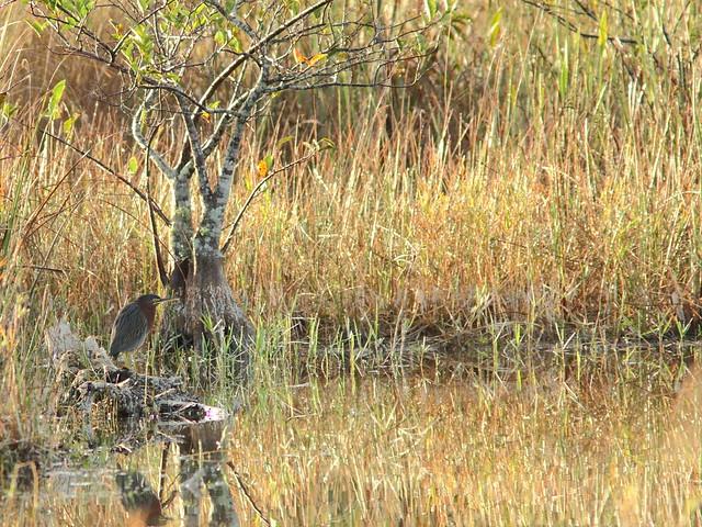 Green Heron 20121216