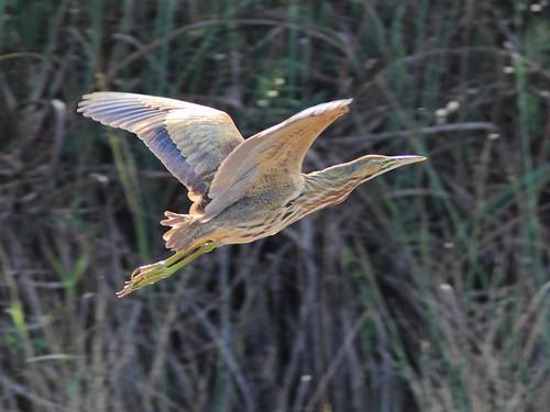 American Bittern Botaurus_lentiginosus in flight 20121218