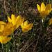 Sternbergia lutea (David Tattersfield)