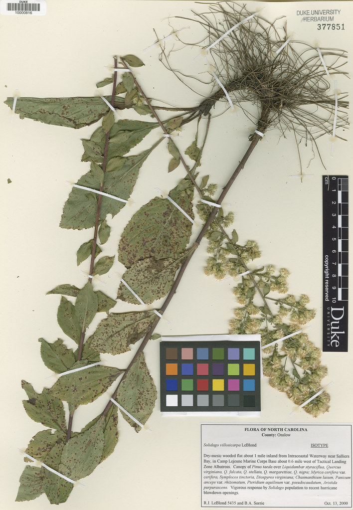 Asteraceae_Solidago villosicarpa
