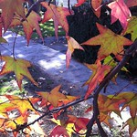 Liquidambar Color for Fall and Winter