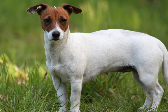 Missing: Jack Russell - PLEASE HELP