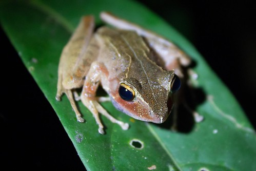 Nocturnal frog in Ranomafana National Park