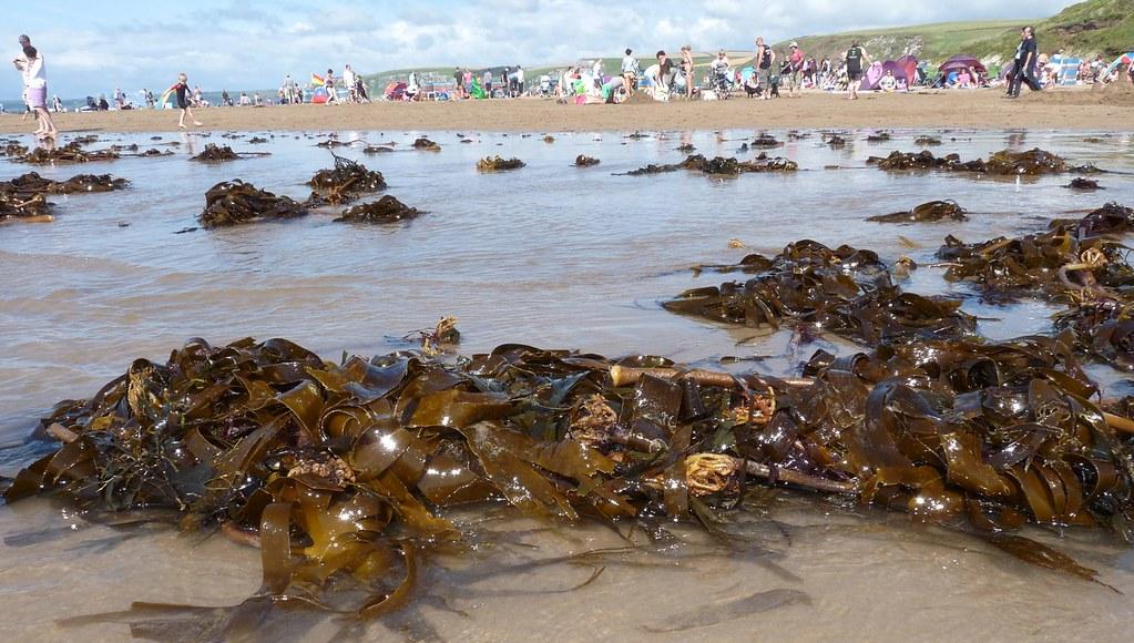 Seaweed at Bigbury
