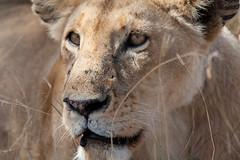 mane(0.0), puma(0.0), savanna(0.0), animal(1.0), big cats(1.0), masai lion(1.0), lion(1.0), snout(1.0), mammal(1.0), fauna(1.0), close-up(1.0), whiskers(1.0), safari(1.0), wildlife(1.0),