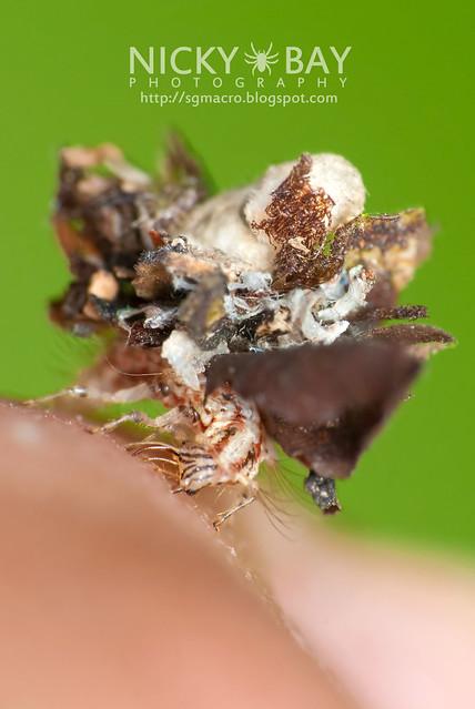 Lacewing larva (Chrysopidae) - DSC_1211
