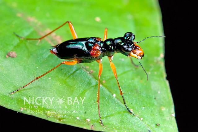 Tiger Beetle (Cicindelinae) - DSC_0623
