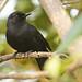 Black Catbird - Puerto Morelos, Mexico - 26 December 2012 by grallaria