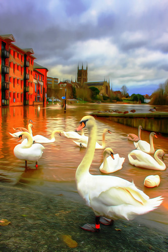 Swan - in the Worcester Floods