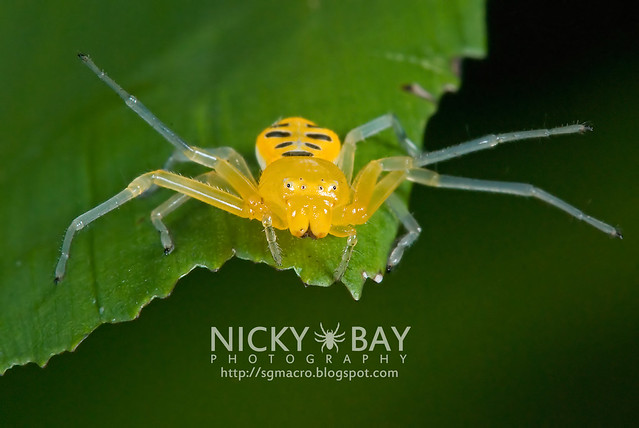 Eight-Spotted Crab Spider (Platythomisus octomaculatus) - DSC_0019