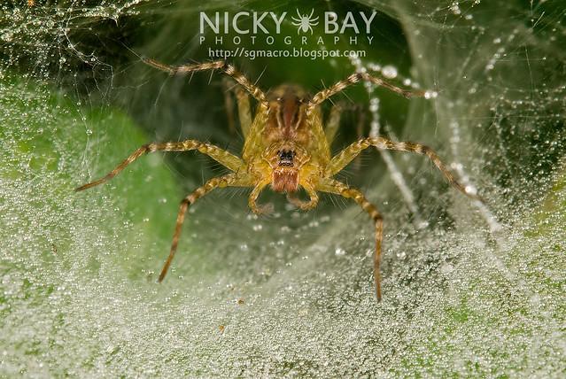 Wolf Spider (Lycosidae) - DSC_1687