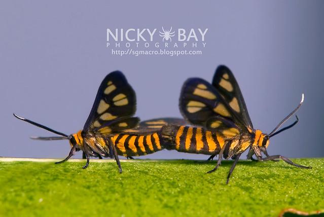 Tiger Moths (Arctiidae) - DSC_1381
