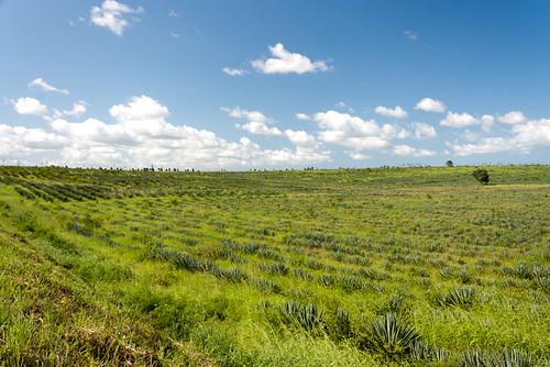 africa landscape tanzania sisal tanga eastafrica agavesisalana