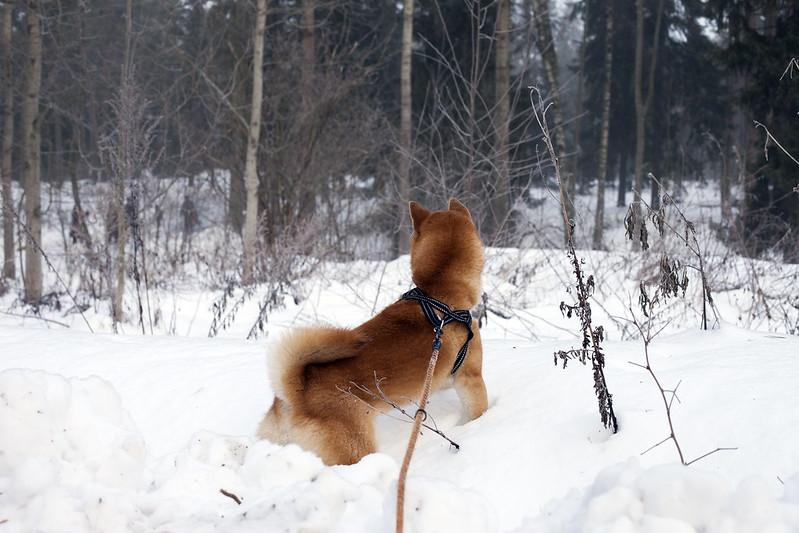 29/12 (Shiba walk)