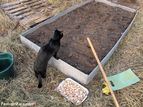 How to grow garlic (2) - Mr. Midnight supervises preparation of the 4' x 8' raised garden bed - FarmgirlFare.com