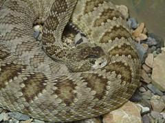 boa constrictor(0.0), hognose snake(0.0), garter snake(0.0), boas(1.0), animal(1.0), serpent(1.0), eastern diamondback rattlesnake(1.0), snake(1.0), reptile(1.0), fauna(1.0), viper(1.0), rattlesnake(1.0), sidewinder(1.0), scaled reptile(1.0), kingsnake(1.0),