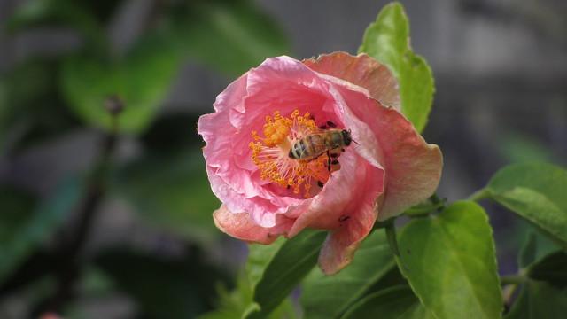 IMG_5122 hibiscus honeybee